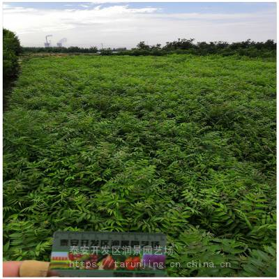 保定香椿苗批发 保定香椿树苗价格 矮化大棚香椿树苗种植