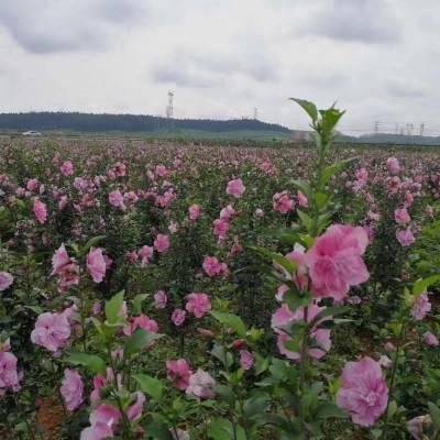 全国大量批发木槿,及其他草坪苗木等品种齐全