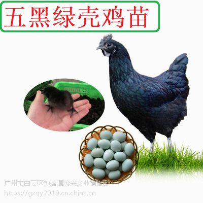 批发江西绿壳蛋鸡苗,黑羽绿壳蛋鸡,白羽绿壳蛋鸡