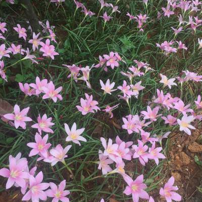 供应 红花葱兰 韭兰 风雨花 庭院绿化多年生花卉种苗 基地批发