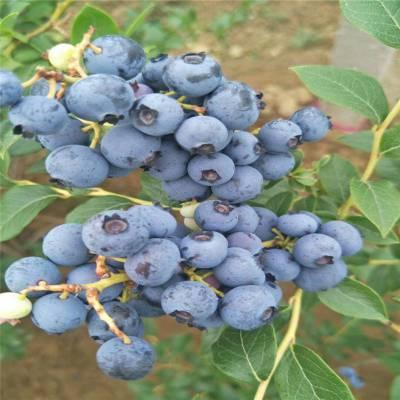 批发智利杜克蓝莓苗 适合全国种植 早熟蓝莓苗