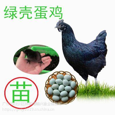 四川绿壳蛋鸡苗,麻羽高产绿壳蛋鸡,绿壳鸡蛋批发价格