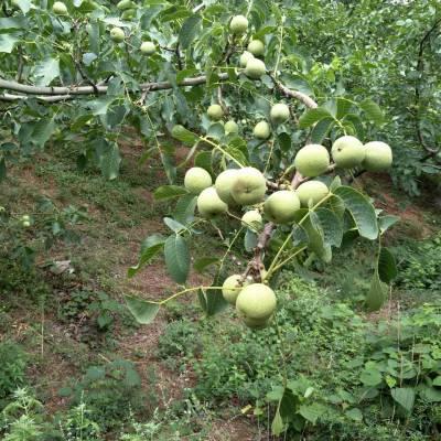 核桃苗苗木种植基地 核桃苗品种齐全 核桃苗价格优惠