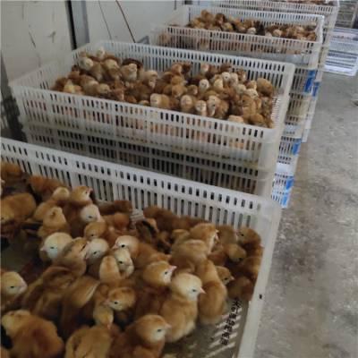 优质 红肉杂鸡苗 价格优惠