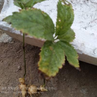 黄石大冶野三七种子种苗 竹节参农业致富项目 竹节参栽培方法
