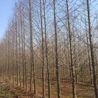 19公分水杉价格_19公分水杉苗价格
