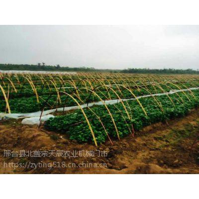 商薯19红薯苗 地瓜苗