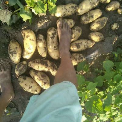 土豆专用控旺产品 控旺增产