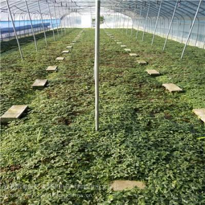 吉林延边野三七种植基地 竹节参农业致富项目 竹节参种苗