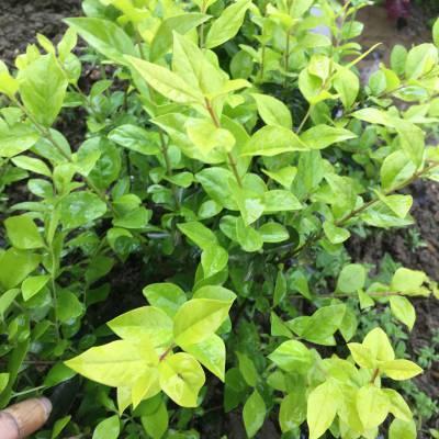 金叶女贞 贵州贵阳常用绿化用的扦插小苗批发价格 哪里有买
