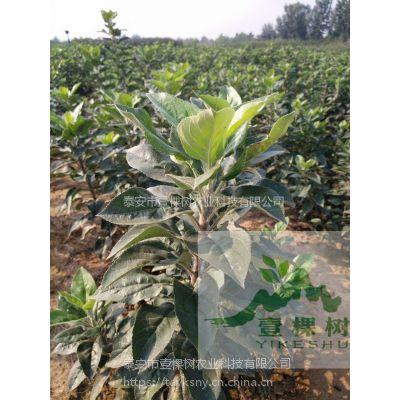 壹棵树农业 正宗苹果树苗 苹果树苗种苗 品种齐全