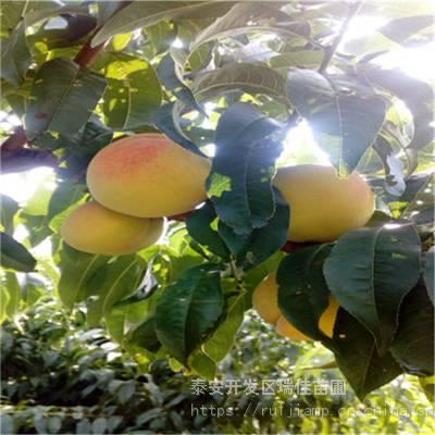 黄金蜜1号桃树苗、黄金蜜1号桃树苗哪里便宜