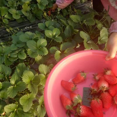 赣州草莓苗厂商 法兰帝草莓苗 牛奶草莓苗厂家