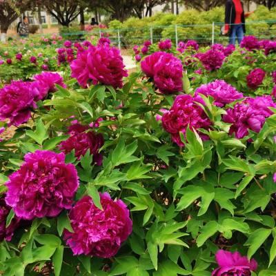 陕西牡丹花批发 牡丹苗 观赏牡丹 庭院绿化牡丹