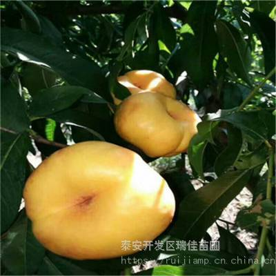 多味桃桃树苗两年生多味桃桃树苗怎么卖的