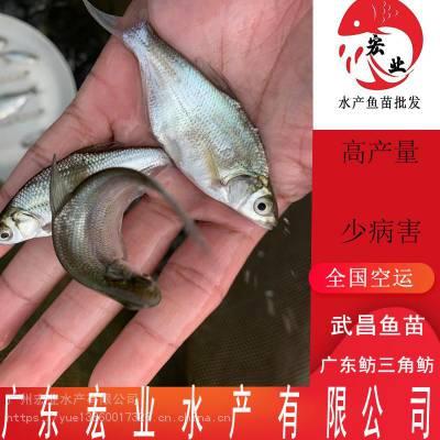 湖南武昌鱼苗 广东鲂三角鲂鱼苗 优质鱼苗批发