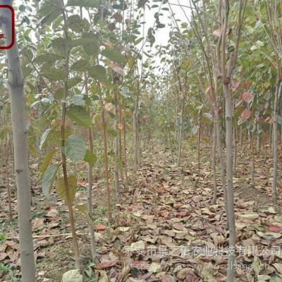 3公分柿子树苗 3公分柿子树苗图片 3公分柿子树苗种植技术